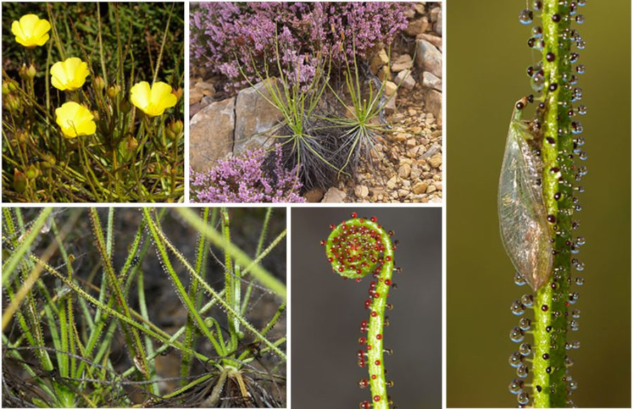 Drosophyllum lusitanicum (L.) Link (Drosophyllaceae)