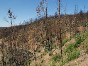 Plantación forestal tras un incendio